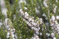 Heideblume in der Blüte Stockbilder