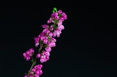 Heideblumendetail am schwarzen Hintergrund Stockfotografie