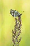 HeideFritillary (Melitaea athalia) lizenzfreies stockfoto