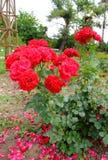 Heidegruss Rose Stock Image