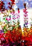 Heideinstallatie op kleurrijk natuurlijk thema als achtergrond, de herfst en de winter, regenboog abstracte achtergrond met heide Royalty-vrije Stock Afbeeldingen