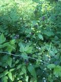 Heidelbeeranlagen im Holz Stockfotografie