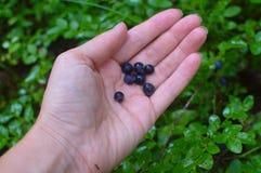 Heidelbeere in einer weiblichen Hand lizenzfreie stockfotografie