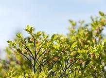 Heidelbeerstrauch mit Blüte lizenzfreies stockbild