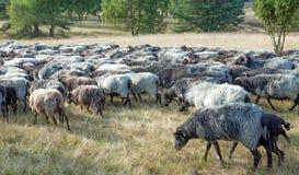 Heidemoor-Schaf-Herde, Lueneburg-Heide, Niedersachsen, Deutschland Lizenzfreie Stockfotografie