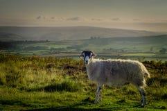 Heidemoor-Schafe Lizenzfreie Stockfotos