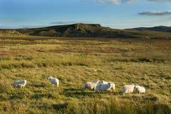 Heidemoor-Schafe Stockfotografie
