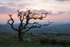 Heidemoor-Weißdorn-Baum Stockbilder