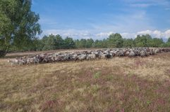 Heidschnucken in Lueneburg Heath,Lower Saxony,Germany Stock Photos