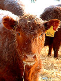 Heifer. A young heifer, always curious, checks out my camera Stock Image