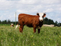 Heifer Royalty Free Stock Images