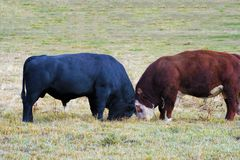 Free Heifer And Angus Bulls Butt Heads Royalty Free Stock Photo - 163320785