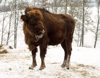 Heifer on the forest background. Altai Breeding bison place. Royalty Free Stock Photography