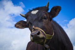 Heifer On A Leash Royalty Free Stock Photography