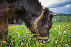 Heifer On A Leash Stock Photography