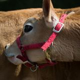 Heifer, Pink Harness. A heifer or young cow, bends her head back to scratch her flank, wearing a pink harness Stock Photo