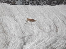 Heifer on the snow patch Stock Photography