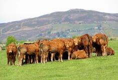 Heifers, bath time, girls.