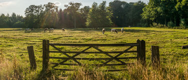 Heifers in the meadow Stock Photos