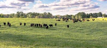 Heifers in ryegrass panorama