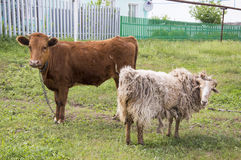 Heifers and sheep Stock Photos