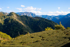 The heigh mountains tea farm Royalty Free Stock Image