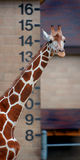 Height - Giraffe. Giraffe against height marker royalty free stock images