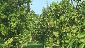 The height of summer, the lemon garden with green fruit lemons. Trees of green lemons, tropical garden in the height of summer stock video