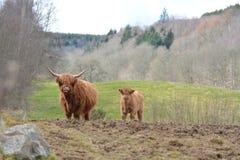 Heilan Coo and Calf Royalty Free Stock Photos