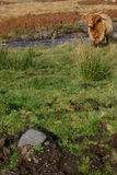 Heilan' Coo Stock Images