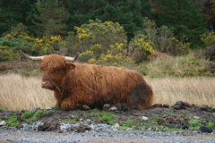Heilan' Coo. They look fierce but they are very well natured animals Royalty Free Stock Image