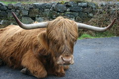 Heilan' Coo. Stopping for a rest on the only road through town Stock Photography