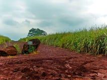 Heilig suikerriet stock foto