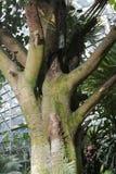 """Heilige Bäume von Buddhism""""Five-Bäumen und von sechs Flowersâ€- Stockfoto"""