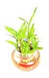 Heilige bamboespruiten Stock Foto's