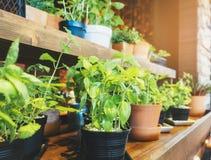 Heilige Basil Herb Plant-Töpfe auf hölzernem Regal Hausgarten lizenzfreie stockfotografie