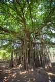 Heilige boom in de wildernis India goa Stock Foto's