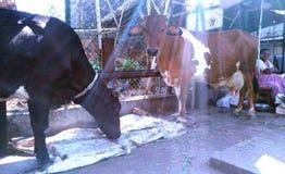 Heilige braune und weiße Kuh die erstaunliche Zucht des Viehs aus der ganzen Welt stockbild