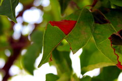 Heilige Feige natürliche grüne Blatt-Hintergrund-Tapete Stockbilder