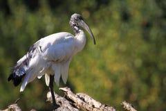 Heilige ibis Royalty-vrije Stock Foto's