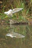 Heilige Ibis Stock Fotografie