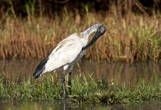 Heilige Ibis, Sacred Ibis, Threskiornis aethiopicus royalty free stock photo