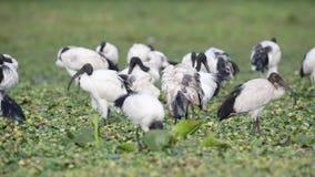 Heilige ibissen die op Gebied voeden