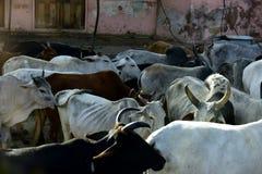 Heilige Kühe Stockbild