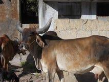 Heilige Kühe in Junagadh/in Indien Stockbilder