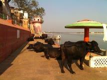 Heilige Koeien opzij van Rivier Ganges in India Stock Afbeelding