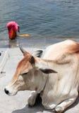 Heilige Kuh stockfotos