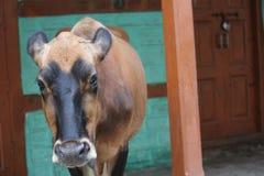 Heilige Kuh Lizenzfreies Stockfoto
