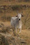 Heilige Kuh des Weiß in der Landschaft stockfotografie