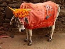 Heilige Kuh, Indien lizenzfreies stockbild